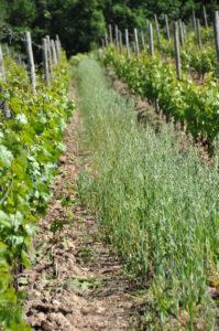 vignes côtes du forez